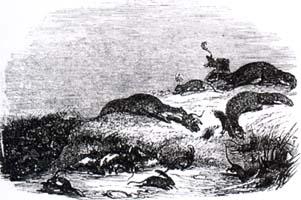 Война Крыс и Ласок (Ж. Давид)