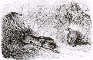 Заяц и Куропатка