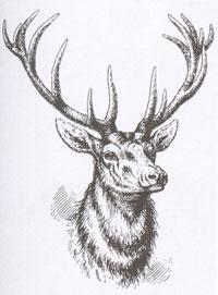 Олень (Рисунок. XIX в.)