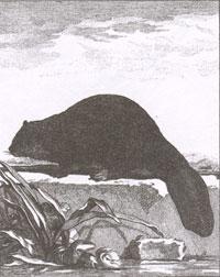 Бобр (Рисунок. XVIII в.)