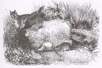 Две Крысы, Яйцо и Лиса (Ж. Давид)