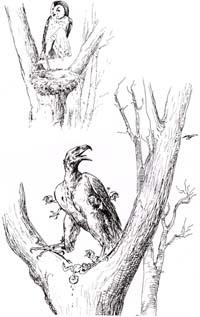 Орел и Сова (Вимар)