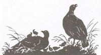 Куропатки (Рисунок. XIX в.)