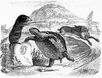 Заяц и Черепаха (Гранвиль)