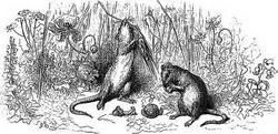 Иллюстрация к басне Городская и полевая Крысы