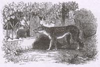 Волк и тощая Собака (Ж. Давид)