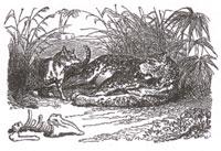 Лев (К. Жирарде)