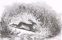 Заяц и Лягушки (Ж. Давид)