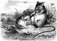 Лягушка и Крыса (Гранвиль)
