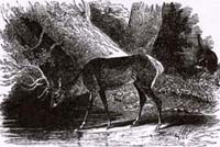 Олень и его отражение (Ж. Давид)